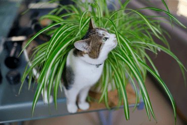 Pet resources archives best pets for Spider plant cats