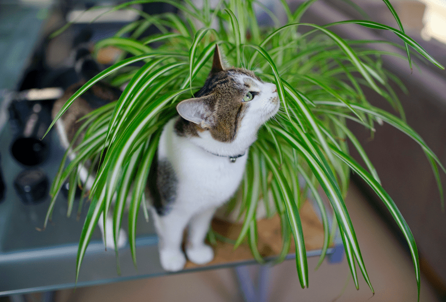 Why spider plants is so poisonous to cat for Spider plant cats