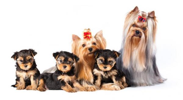 How Many Puppies Can A Yorkshire Terrier Have