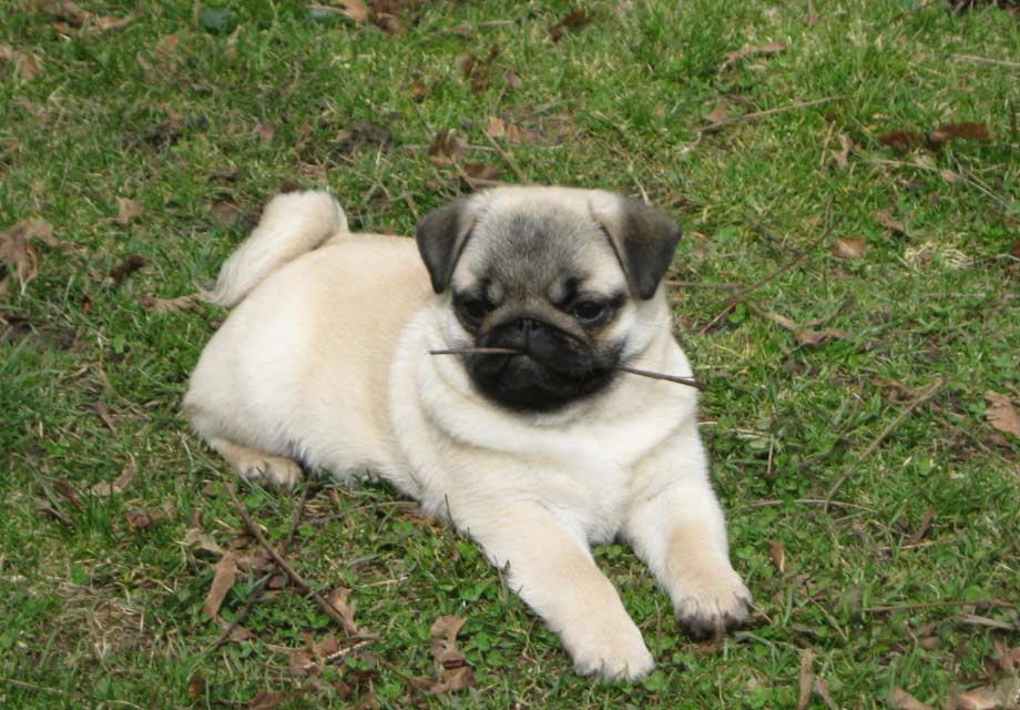 Why Pug Puppy Is Sick
