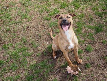 plott hound pitbull mix